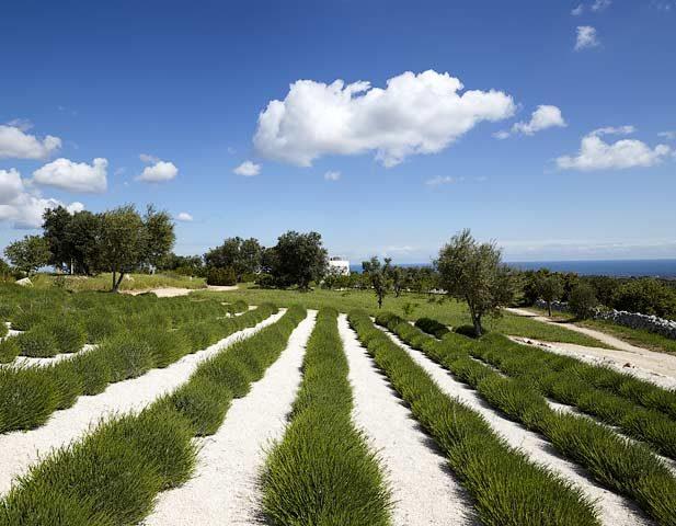 Masseria Petrarolo — Lavender fields