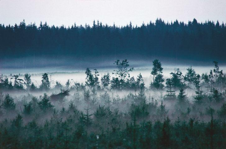 Kolarbyn — Moose in the mist