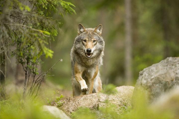 Kolarbyn — Wolf